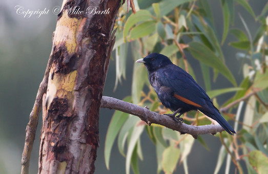White-billed Starling (Onychognathus albirostris)