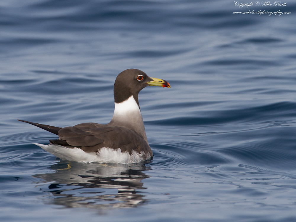 Sooty Gull (Larus hemprichii)