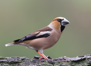Hawfinch & Goshawks in the Netherlands