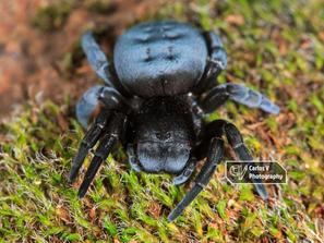 Elephant Spider