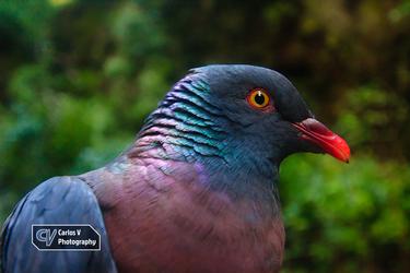 Dark-Tailed Laurel Pigeon