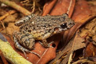 Lowland tropical bullfrog