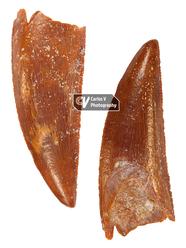 Dinosaur Tooth