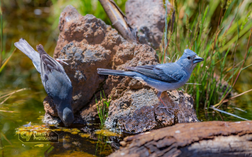 Blue chaffinches