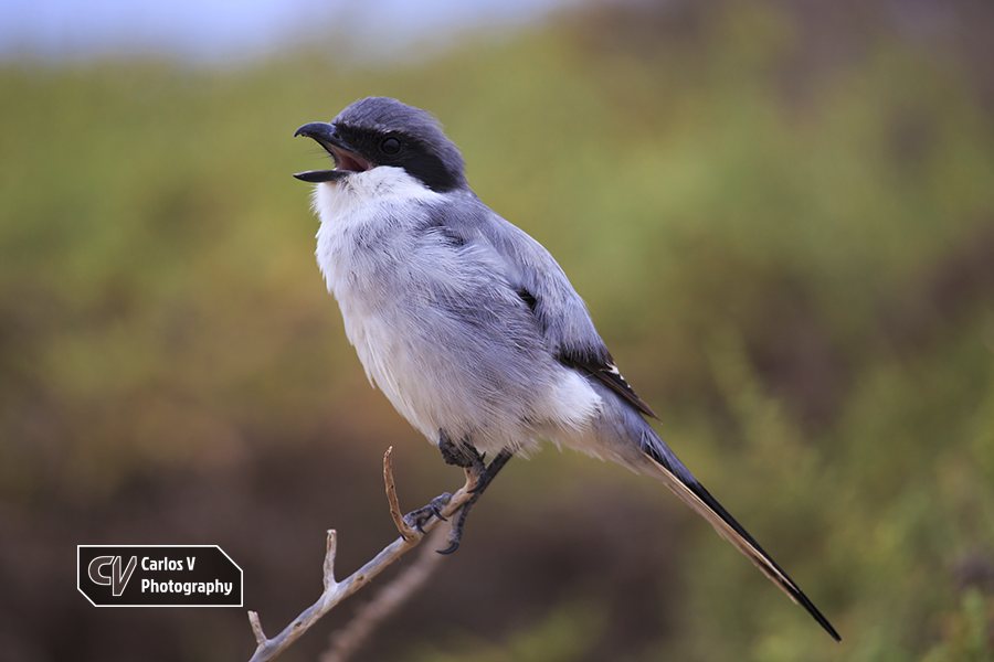"""The southern grey shrike (Lanius meridionalis) is a songbird that preys on animals anywhere from insects to small mammals. «Lanius» is the Latin term for """"butcher"""", due to the birds' feeding habit of impaling their prey on thorns. The shrike on the photo imitated songs of other birds to lure them in close and capture them.  © 2017 Carlos Vermeersch"""