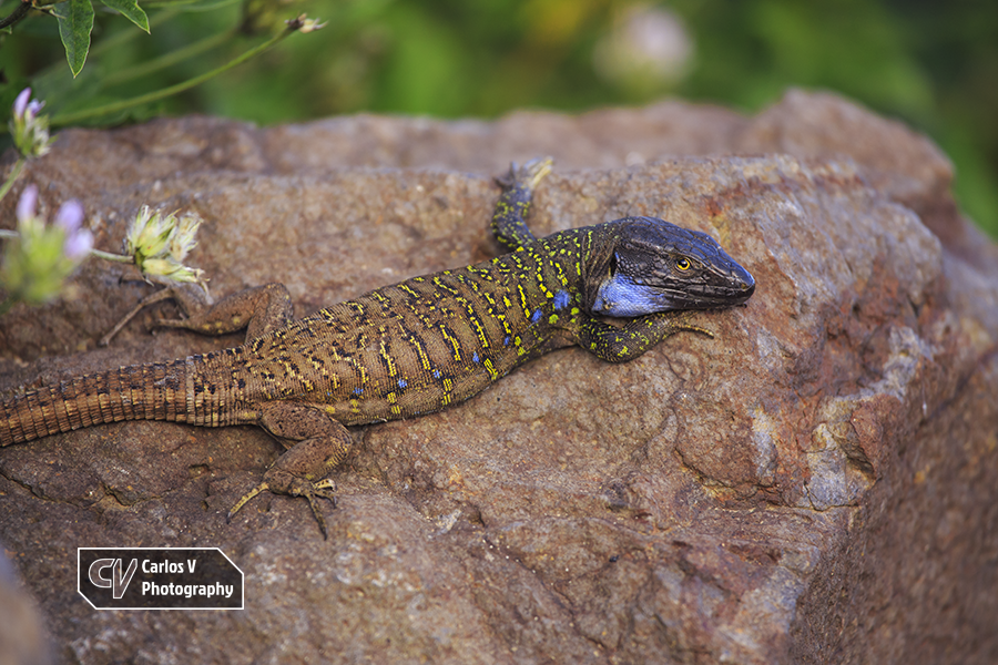 Another adult Northern Tenerife lizard (Gallotia galloti eisentrauti) from the same area.  © 2018 Carlos Vermeersch