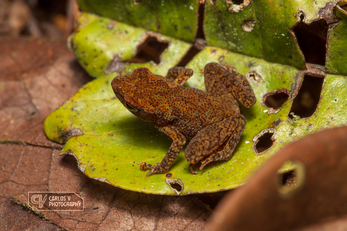 Tiny leaf litter toad