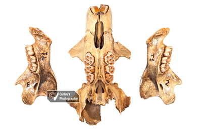Canariomys bravoi (MNH)
