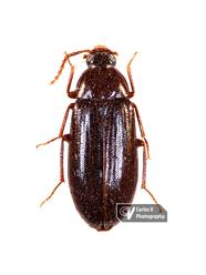 Beetle Holotype (MNH)