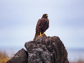 A blood-covered Galápagos hawk