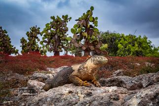 Majestic land iguana