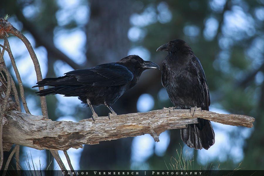A couple of northern ravens (Corvus corax) in a pine tree forest of La Palma (Canary Islands, Spain).  © 2017 Carlos Vermeersch