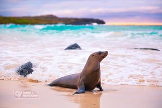 Glamorous sea lion