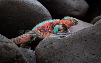 Española marine iguana