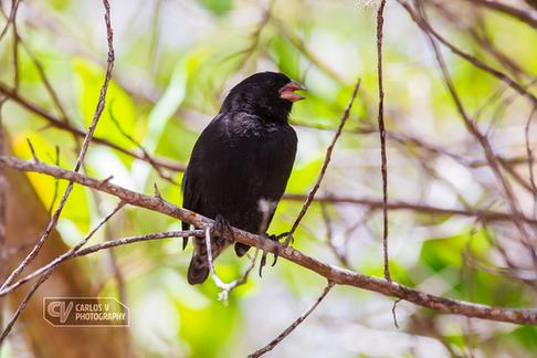 A Darwin's finch