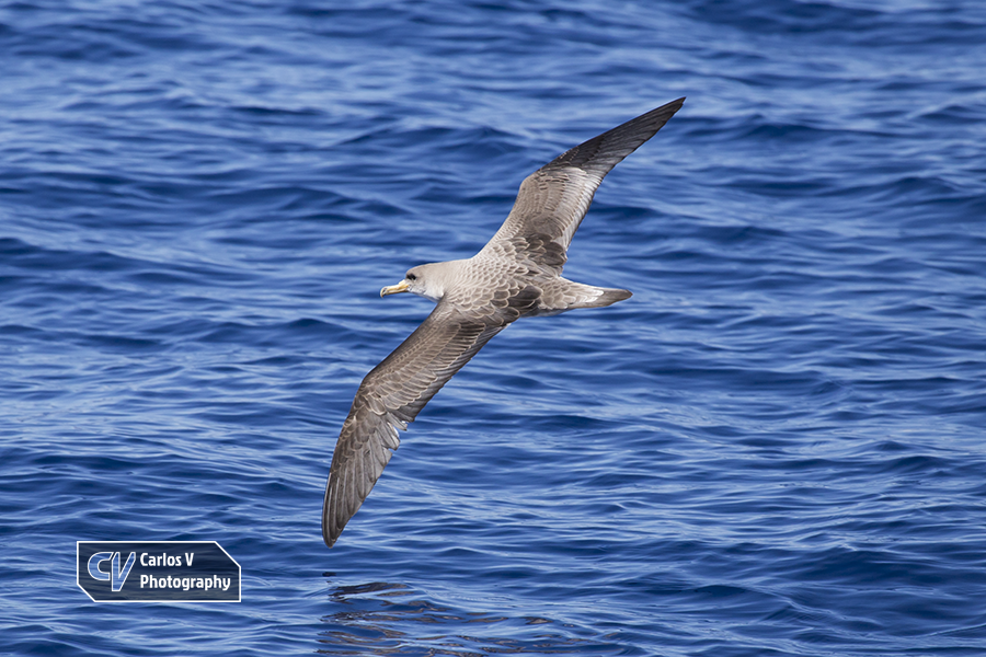 A Cory's shearwater visiting the Canary Islands in October to breed.  © Carlos Vermeersch