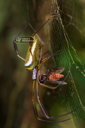 Copulating golden orb-weavers