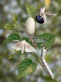 Silkworm Moth Life Cycle (2021)