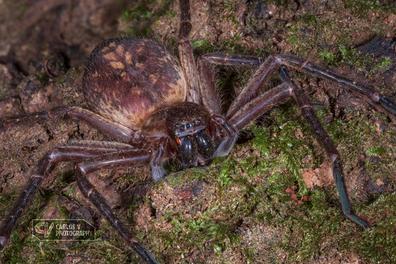 Canary huntsman spider