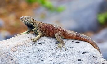 Española lava lizard
