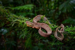 Juvenile Amazon tree boa