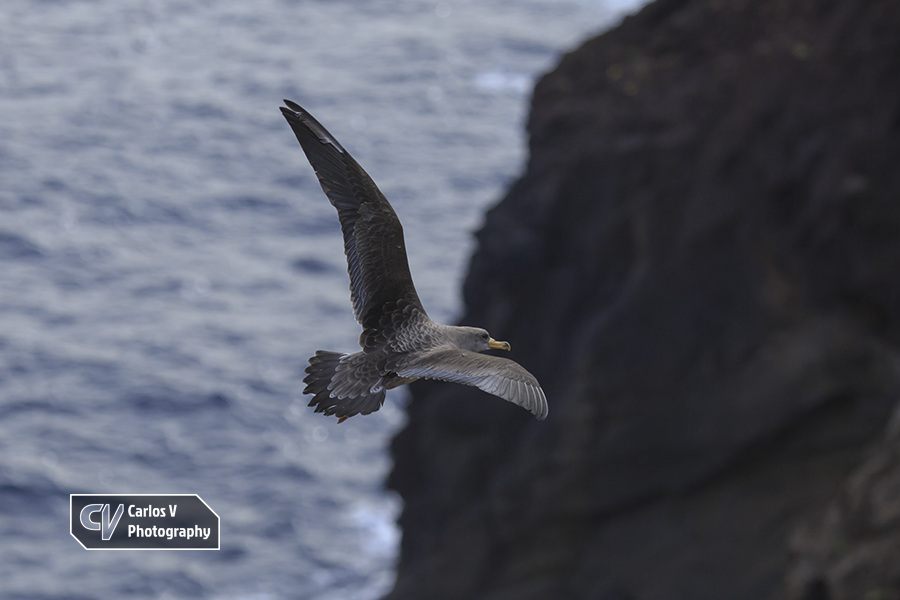 A fledgling being released on a pristine beach with cliffs in Northern La Palma, after being rescued by staff of Puntallana's Rehabilitation Center.  © Carlos Vermeersch