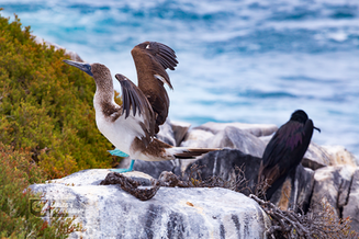 Blue-footed booby and frigatebird