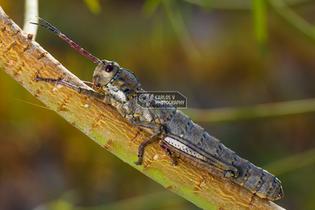 La Palma stick grasshopper