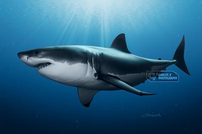 Great White Shark (2017)
