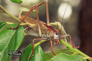 Palma Bush-Cricket