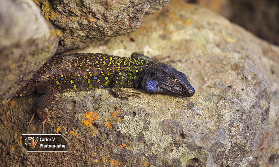 """The Northern Tenerife lizard (Gallotia galloti eisentrauti), locally called """"verdino"""", is one of the 4 subspecies of the Western Canaries lizard and is by far the most attractively colored lizard of the Canary Islands.   © 2018 Carlos Vermeersch"""