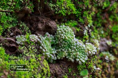 Monanthes cf. polyphylla amydros