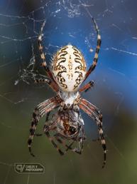 Teide spider