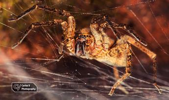 False Wolf Spider