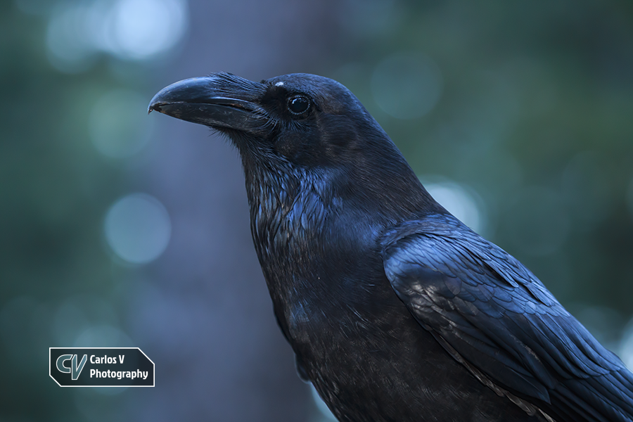 Canary Islands ravens are of the subspecies Corvus corax tingitanus, the North African ravens, although some authorities treat them as a distinct subspecies, C. c. canariensis. They have shorter throat hackles and a glossier plumage, as well as a markedly stout bill.  © 2017 Carlos Vermeersch