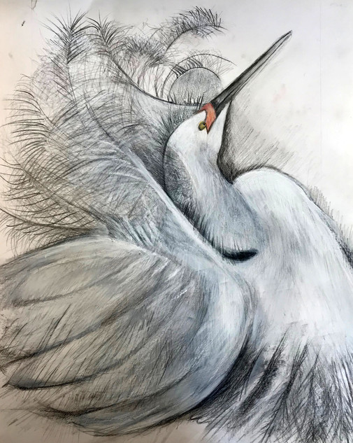 Egret Displaying Feathers