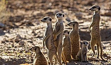 Observe Meerkat