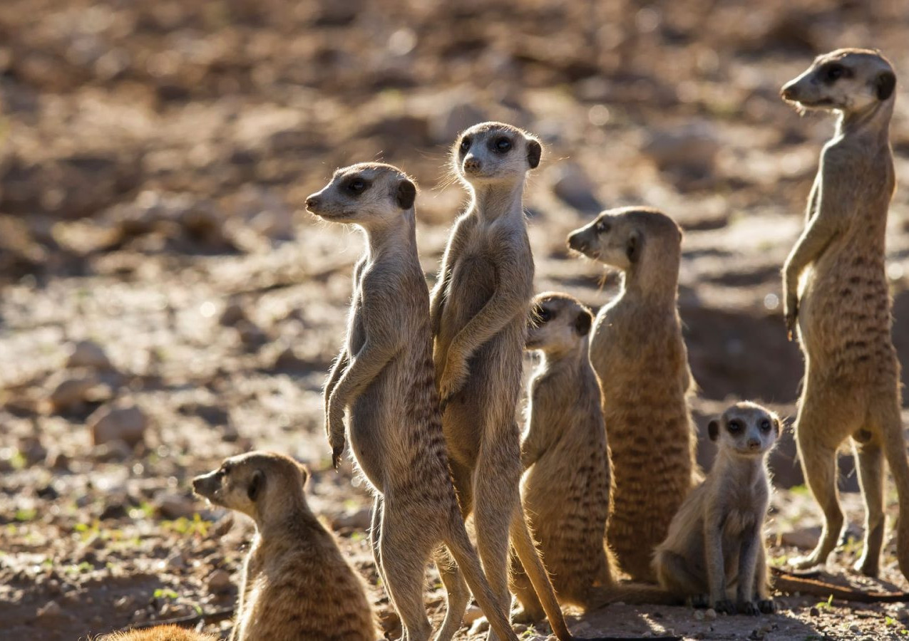 Study Meerkats from close by.