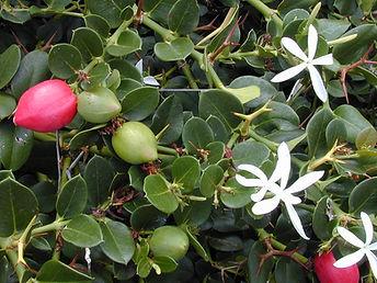 Amatungulu plant