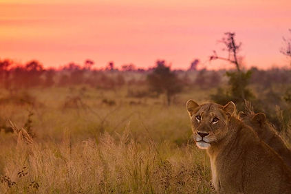 Lion in the Kruger Park.