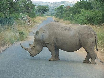 Rhino, Big 5