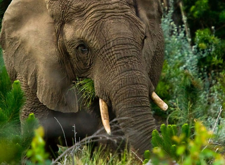 MYSTERY OF THE HIDEAWAY ELEPHANTS OF THE KNYSNA FOREST