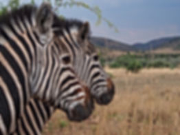 Zebra in the Kruger National Park.