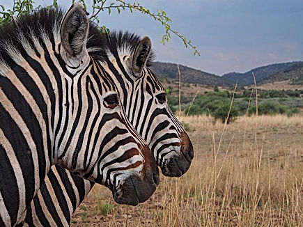 Zebra in the Kruger National Park.