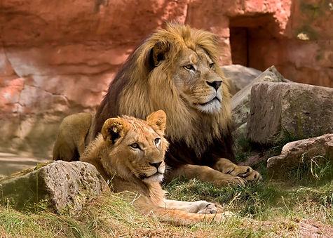 lion-825704.jpg