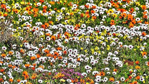 Namaqualand flowers.jpg