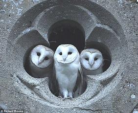 Owls in the church Richard Brooks.jpg
