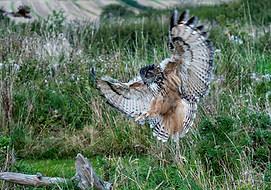 Eagle owl landing