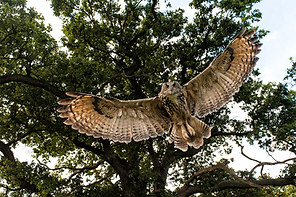 Eagle owl swooping down on prey