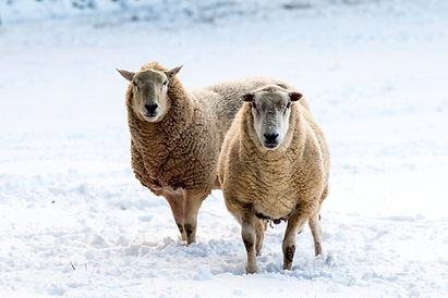 Pair of sheep in the snow